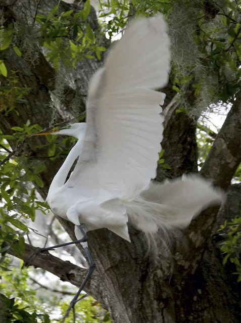 Great Egret Building A Nest!