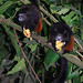 Saddleback Tamarin - Photo (c) Jason Ellsworth-Aults, some rights reserved (CC BY-NC-SA)