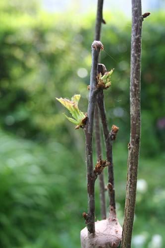 Le jardin de riri greffe de cerisier - Comment faire fuir les oiseaux des cerisiers ...
