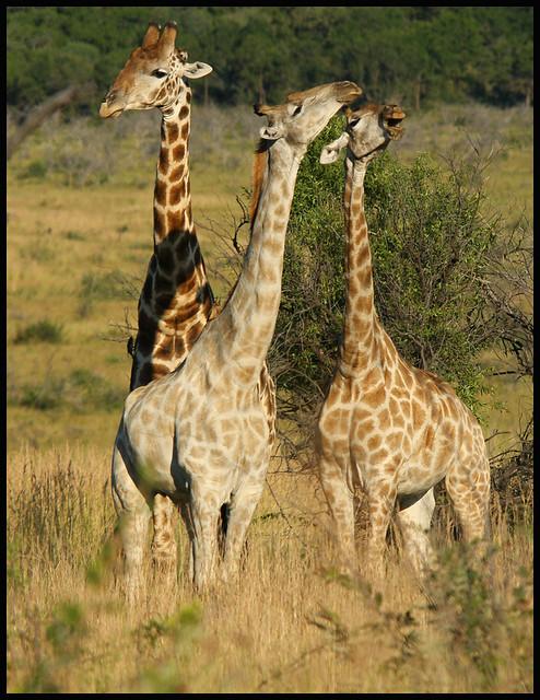 N. Laryngeus Recurrens Giraffe LAUGHING GIRAFFE   Fli...