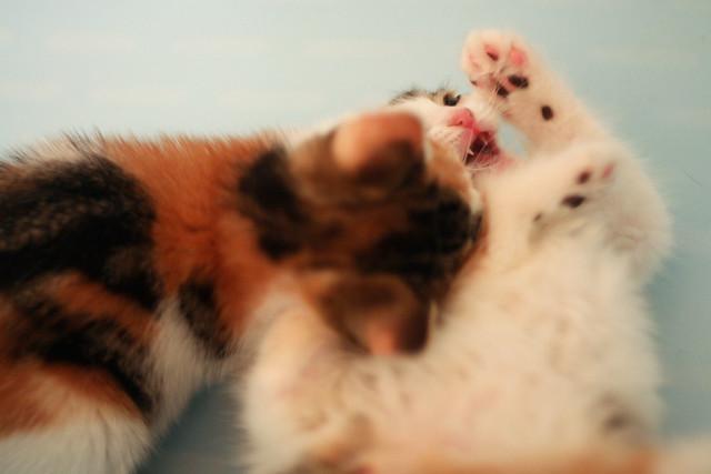 vampire kitten | Flick...