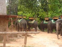 adventure(0.0), zoo(0.0), outdoor recreation(0.0), safari(0.0), animal(1.0), indian elephant(1.0), elephant(1.0), elephants and mammoths(1.0), fauna(1.0), mahout(1.0), jungle(1.0), wildlife(1.0),