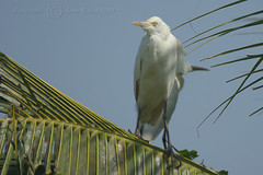 Goa - Cattle Egret 4