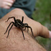 Raft spider - Photo (c) Eva the Weaver, some rights reserved (CC BY-NC-SA)