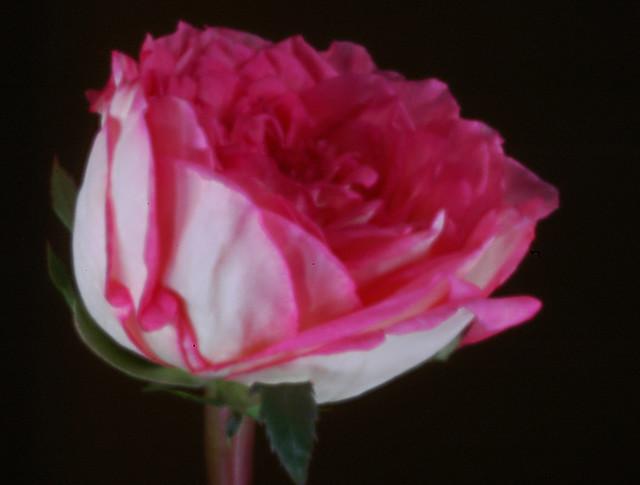 rose - digital pinhole