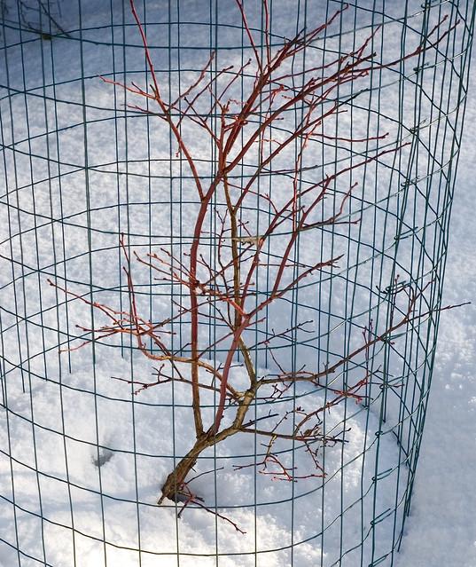 Winter Blueberry Bush