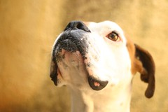 dog breed(1.0), nose(1.0), animal(1.0), dog(1.0), snout(1.0), mammal(1.0), pointer(1.0),