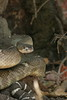"<a href=""http://www.flickr.com/photos/flavor32/2403217315/"">Photo of Crotalus oreganus by Emily Hoyer</a>"