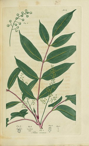 Rhus vernix, Poison sumach or Dogwood