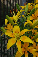 lily, erythronium, flower, yellow, plant, flora, petal,