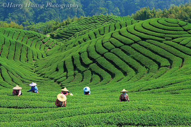 茶园-大鞍竹海风景区-高山茶