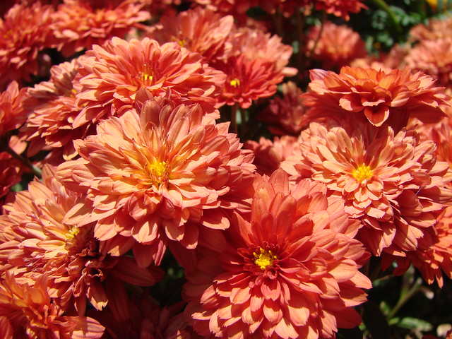 Bronze Chrysanthemums Flickr Photo Sharing