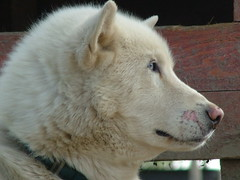 dog breed, nose, animal, dog, hokkaido, pet, white shepherd, greenland dog, kishu, carnivoran, samoyed,