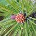 Ponderosa Pine - Photo (c) Brent Miller, some rights reserved (CC BY-NC-ND)