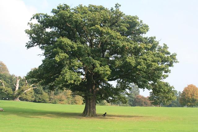 Oak trees a gallery on flickr for Arboles jardin hoja perenne