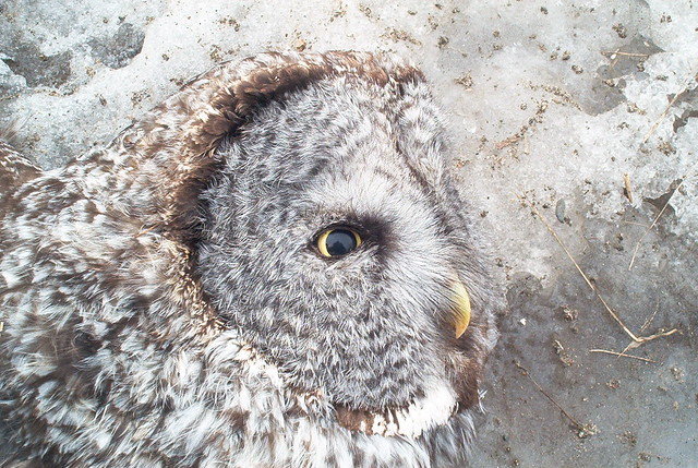 Road kill Great Gray Owl, Minnesota, 2005