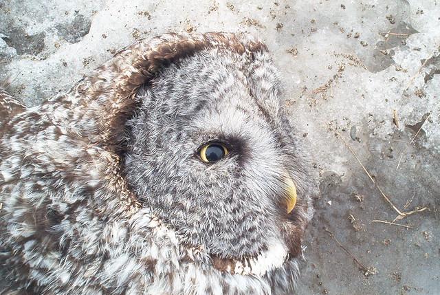 Road kill Great Gray Owl, Minnesota, 2005