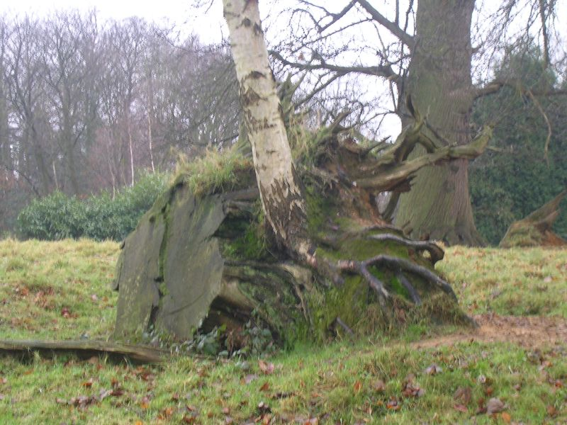 Birch in stump Woldingham to Oxted (short)
