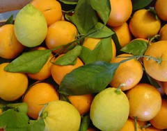 clementine, calamondin, citrus, orange, valencia orange, meyer lemon, kumquat, produce, fruit, food, tangelo, sweet lemon, bitter orange, tangerine, mandarin orange,
