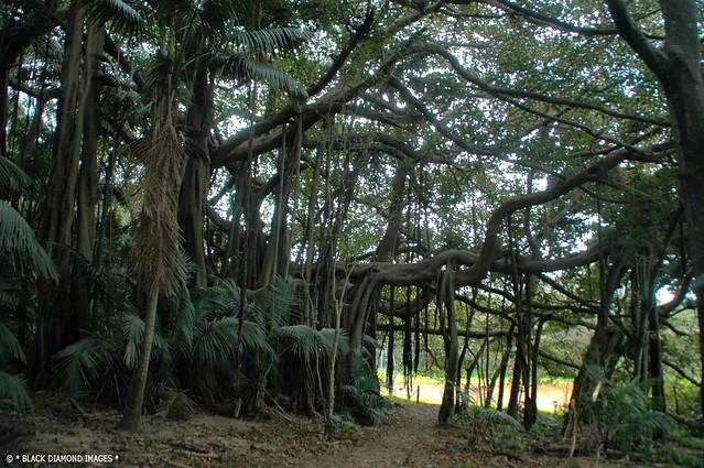 Ficus macrophylla forma. columnaris - Lord Howe Banyan