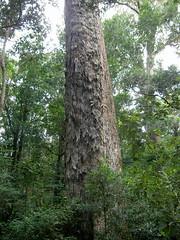 Big tree trunk