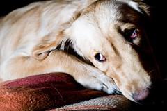 nose, animal, dog, saluki, pet, snout, mammal, close-up, whiskers, eye, organ,