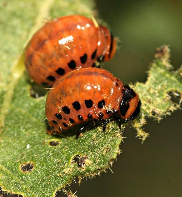 Potato Beetle Larva   Flickr - Photo Sharing!