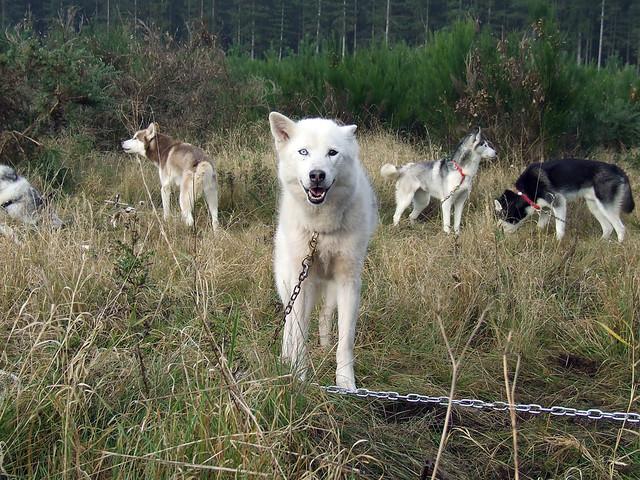 Bi-Eyed Siberian Husky | Waiting with the race team at Kings ...