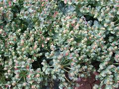 blossom(0.0), arctostaphylos uva-ursi(0.0), annual plant(1.0), evergreen(1.0), shrub(1.0), flower(1.0), leaf(1.0), plant(1.0), flora(1.0), aquifoliaceae(1.0), aquifoliales(1.0), groundcover(1.0),
