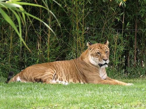 Caprichos humanos deforman al reino animal - Leones apareamiento ...
