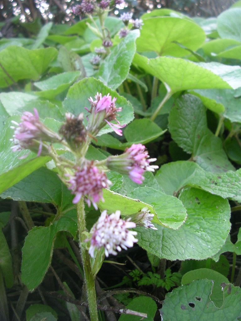 Winter heliotrope Lewes to Saltdean via Rodmell