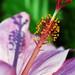 "Boston Public Gardens - Hibiscus ""Petals, Stem & Shadow"""
