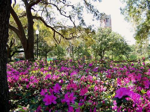 azaleas fl colorexplosion gainesvillefl plazaoftheamericas ufcampus universityoffl countdowntillspring campuscountdown centurytowerview 9moredaystillspring