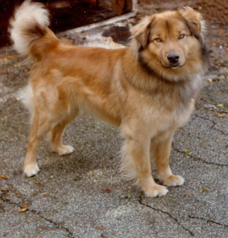 Golden retriever mixed with australian shepherd