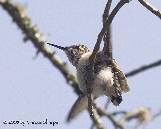 Ruby throated hummingbird baby - photo#12
