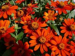 annual plant, flower, plant, marguerite daisy, herb, wildflower, flora, petal,