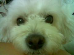 toy poodle(1.0), miniature poodle(1.0), bichon frisã©(1.0), dog breed(1.0), animal(1.0), dog(1.0), cavachon(1.0), schnoodle(1.0), pet(1.0), coton de tulear(1.0), lã¶wchen(1.0), bolonka(1.0), poodle crossbreed(1.0), havanese(1.0), lhasa apso(1.0), bichon(1.0), dandie dinmont terrier(1.0), maltese(1.0), bolognese(1.0), carnivoran(1.0),