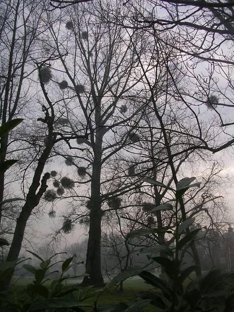 mistletoes in the mist