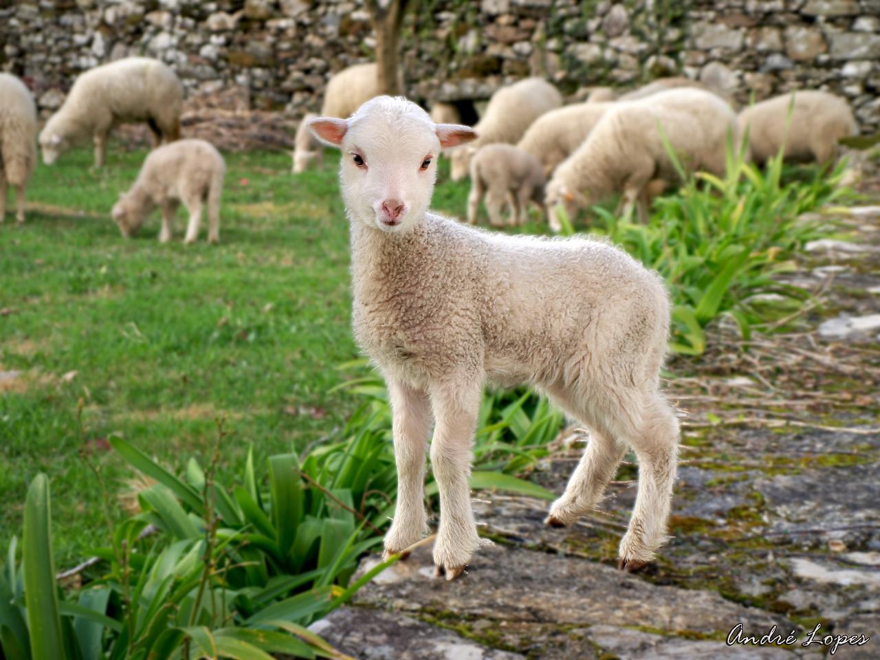 Talk:Little Sheep Group