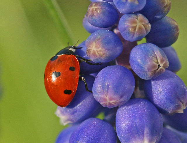 Ladybird red-green-blue