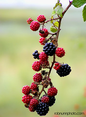 blossom(0.0), shrub(0.0), flower(0.0), plant(0.0), produce(0.0), food(0.0), zante currant(0.0), blackberry(1.0), berry(1.0), branch(1.0), red mulberry(1.0), wine raspberry(1.0), flora(1.0), loganberry(1.0), fruit(1.0), boysenberry(1.0), mulberry(1.0),