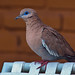 West Peruvian Dove - Photo (c) David Cook Wildlife Photography, some rights reserved (CC BY-NC)