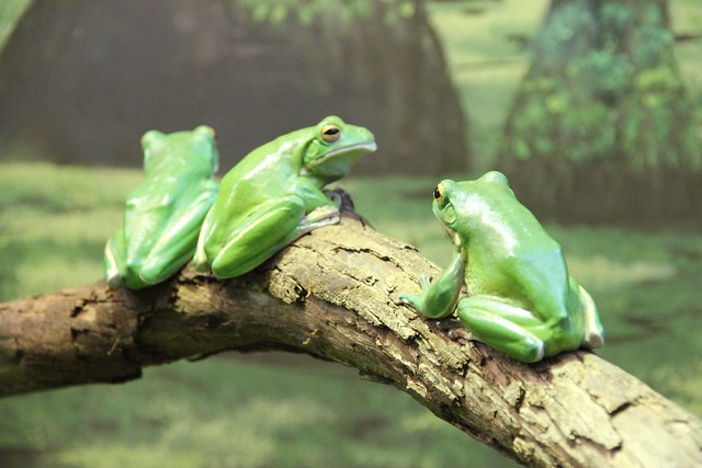 We three frogs...
