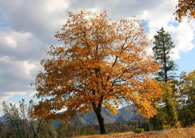 Black Oak Tree ~ Flickr photo sharing