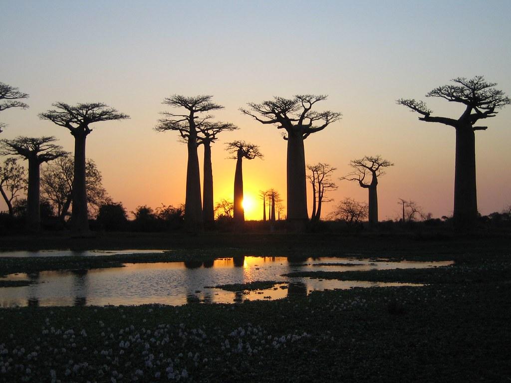 夕日に染まるバオバブ並木道の風景