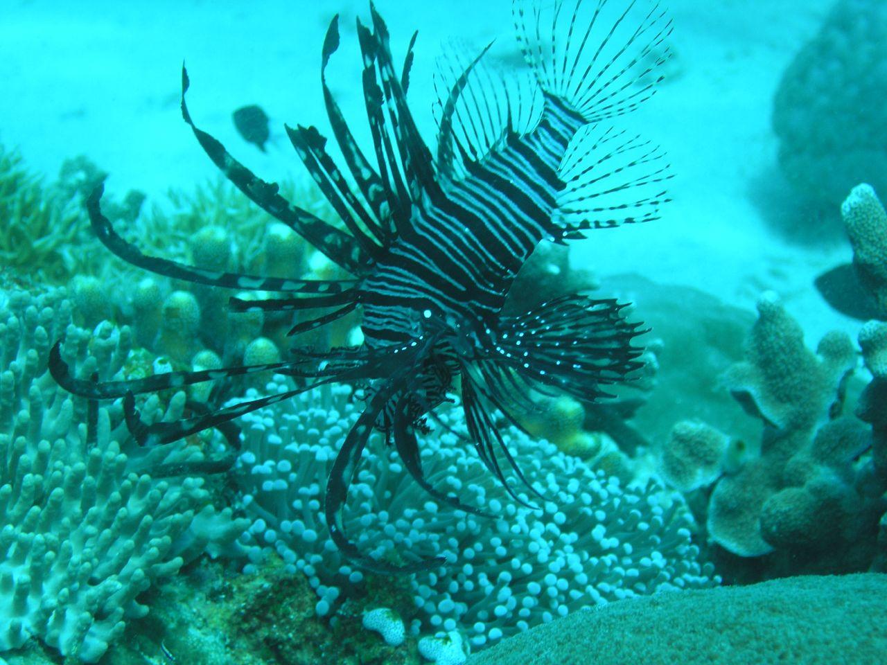 More lionfish