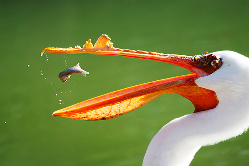 White pelican with lunch in midair