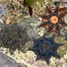 Carpet Sea Star - Photo (c) Nuytsia@Tas, some rights reserved (CC BY-NC-SA)