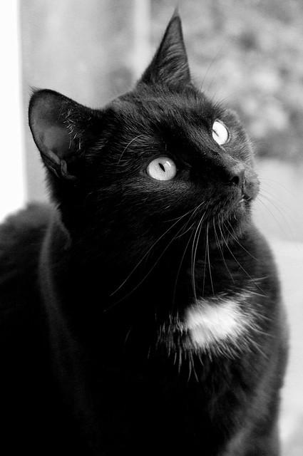 black and white cat flickr photo sharing