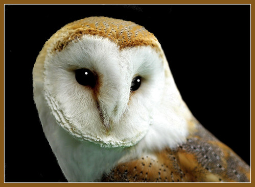 Barn owl close up (tyto alba)